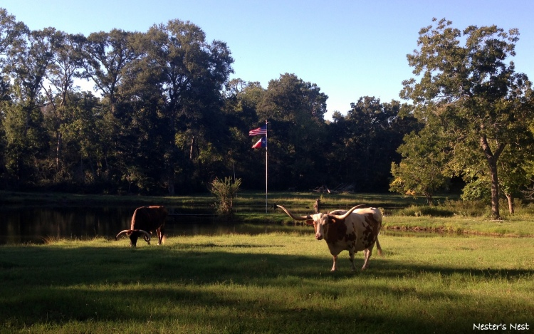 Longhorns at Farm - NN